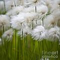 Cottongrass by Heiko Koehrer-Wagner