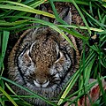 Cottontail by Lisa Vaccaro