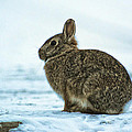 Cottontail Rabbit by Christy Patino