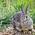 Cottontail Rabbit by Michael Chatt