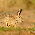 Cottontail Rabbit by Scott Linstead