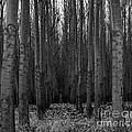 Cottonwood Alley Monochrome by Chalet Roome-Rigdon