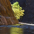 Cottonwood On The Virgin River by Brian Boyle