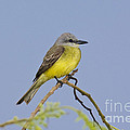 Couchs Kingbird by Anthony Mercieca
