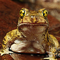 Couchs Spadefoot Toad by C K Lorenz