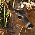 Coues White-tailed Deer - Sonora Desert Museum - Arizona by Mark Valentine