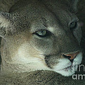 Cougar-7688 by Gary Gingrich Galleries