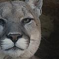 Cougar Digitally Enhanced by Ernie Echols