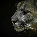 Cougar by Ernie Echols