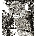 Cougar From Colorado by Jack Pumphrey