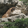 Cougar by Jayne Gohr