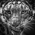 Cougar  by Lijie Zhou