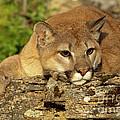 Cougar On Lichen Rock by Sandra Bronstein