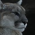 Cougar Profile by Ernie Echols