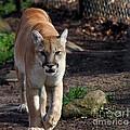 Cougar Walking Towards You by Eva Thomas