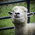 Counting Sheep by LeeAnn McLaneGoetz McLaneGoetzStudioLLCcom