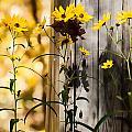 Country Daisy by Sheri Bartoszek