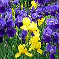 Country Road Irises  by Will Borden
