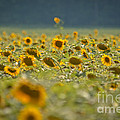 Country Sunflowers by Cheryl Baxter