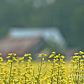 Country Yellow by Cheryl Baxter