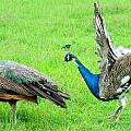 Courtship Display by Randall Weidner
