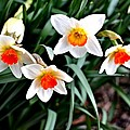 Covenant Daffodils by Tara Potts