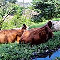 Cow 6 by Dawn Eshelman
