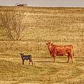 Cow And Calf by Willetta Crowe