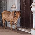 Cow At Church At Colva by Carol Ailles