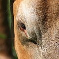 Cow Closeup 7d22397 by Wingsdomain Art and Photography