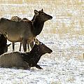 Cow Elk   #0460 by J L Woody Wooden