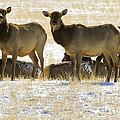 Cow Elk   #0479 by J L Woody Wooden