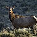 Cow Elk    #7533 by J L Woody Wooden