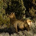 Cow Elk   #7582 by J L Woody Wooden