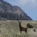 Cow Elk   #9488 by J L Woody Wooden