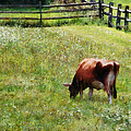 Cow Grazing In Pasture by Susan Savad