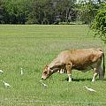 Cow Grazing With Egret by Charles Beeler