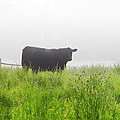 Cow In Fog by Bill Cannon