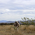 Cow In Pasture by Cathy Anderson