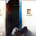 Cow In Temple Udaipur Rajasthan India by Sue Jacobi