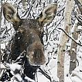 Cow Moose Among Snow Covered Trees In by Philippe Henry