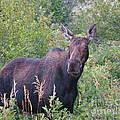 Cow Moose Portrait by Timothy Flanigan and Debbie Flanigan