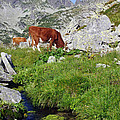 Cow On Alpine Pasture  by Ioan Panaite