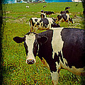Cow On Farm Version - 2 by Larry Mulvehill