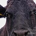 Cow Pretending To Be A Bull by Alexandra Jordankova