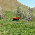 Cows Along The Rolling Hills Landscape Of The Black Diamond Mines In Antioch California 5d22303 by Wingsdomain Art and Photography