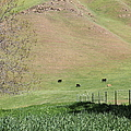 Cows Along The Rolling Hills Landscape Of The Black Diamond Mines In Antioch California 5d22319 by Wingsdomain Art and Photography