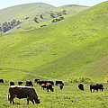 Cows Along The Rolling Hills Landscape Of The Black Diamond Mines In Antioch California 5d22329 by Wingsdomain Art and Photography