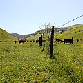 Cows Along The Rolling Hills Landscape Of The Black Diamond Mines In Antioch California 5d22339 by Wingsdomain Art and Photography