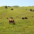 Cows Along The Rolling Hills Landscape Of The Black Diamond Mines In Antioch California 5d22350 by Wingsdomain Art and Photography